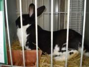 ČSCH Blansko, králík